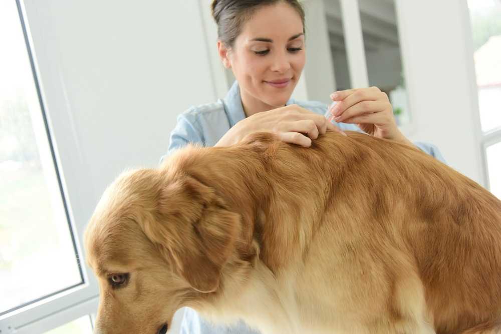Vet applying tick prevention treatment to dog to prevent tick paralysis.