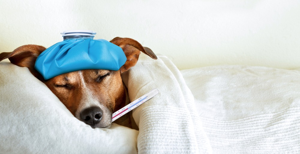 Sick dog with ice bag on head and thermometer in mouth