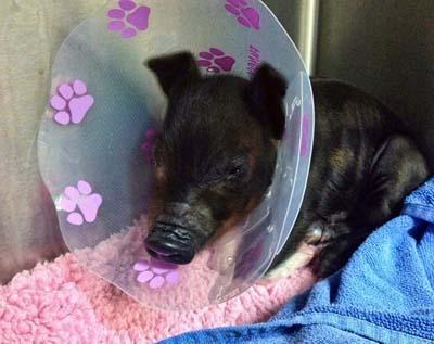 emergency vet piglet