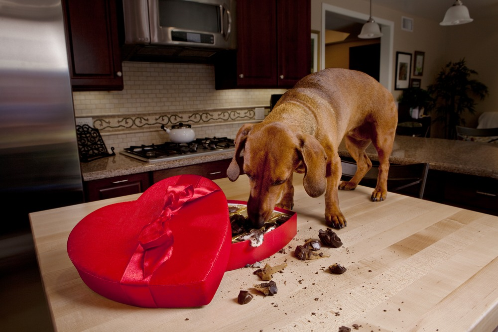 Brown pet dog eating chocolates from red box