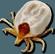 tick-paralysis